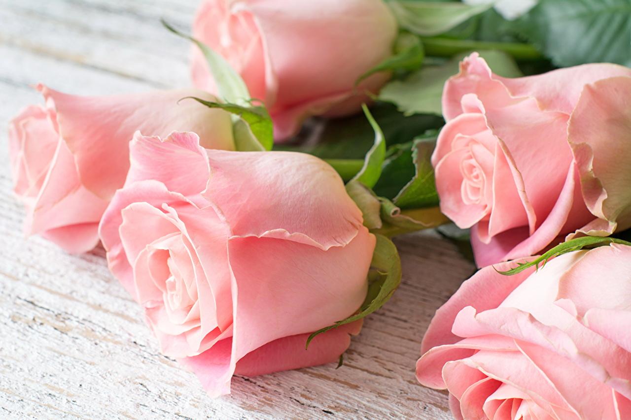 Картинка роза розовая цветок Крупным планом Розы розовых Розовый розовые Цветы вблизи