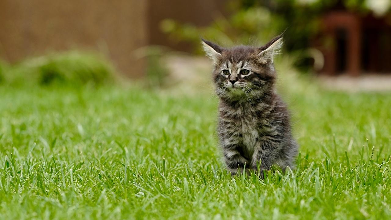 Картинка Котята кошка Размытый фон траве Сидит Животные котят котенок котенка кот коты Кошки боке сидя Трава сидящие животное