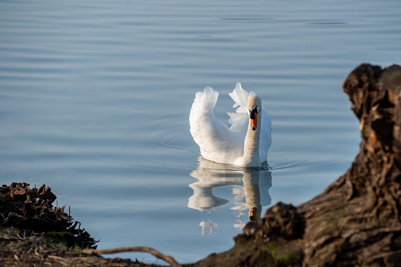 Фото Птицы Лебеди плывут белых Вода Животные птица лебедь Плывет плавает плавают плывущий плавающий белая белые Белый воде животное