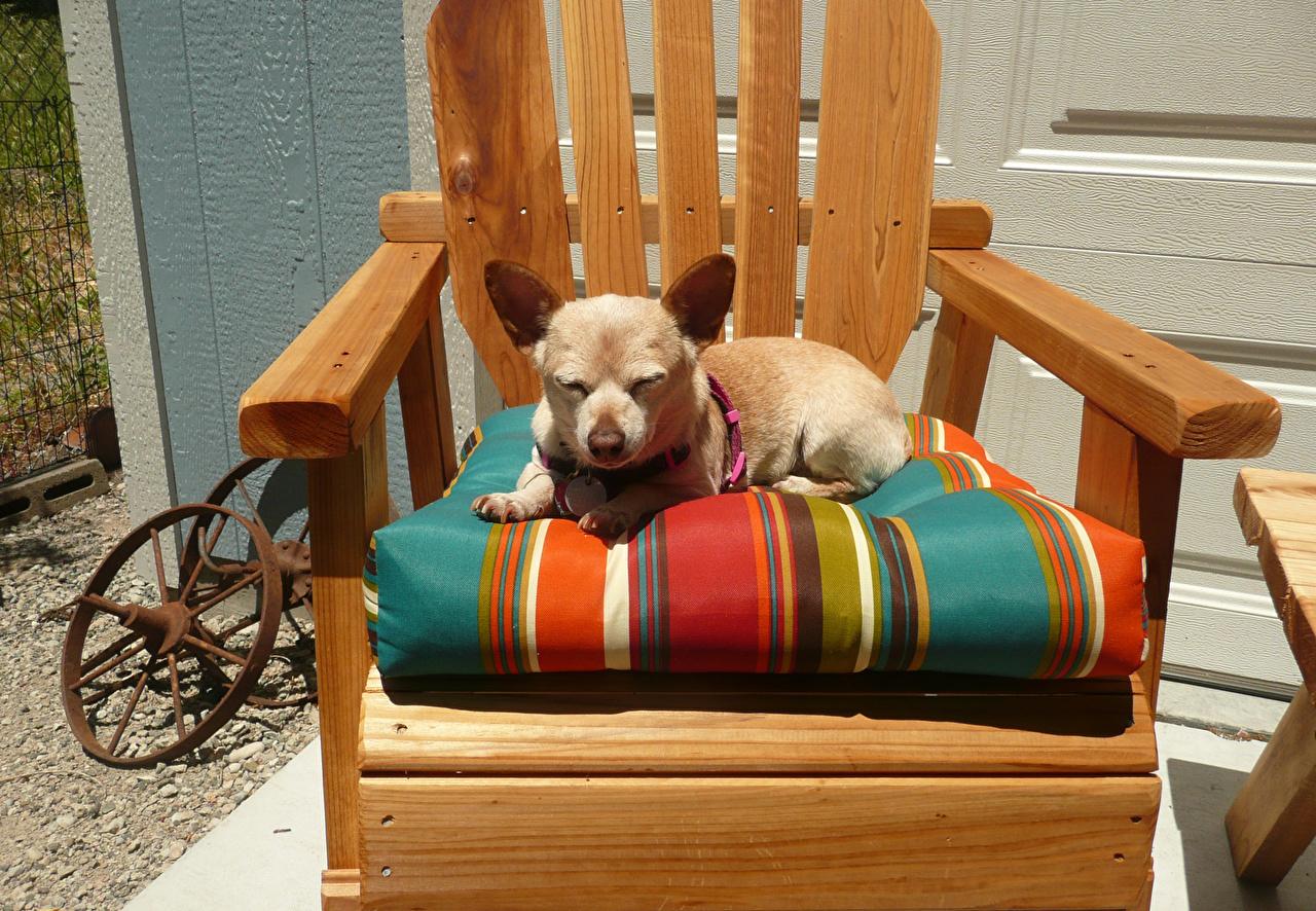 Картинки Чихуахуа Собаки Кресло Животные