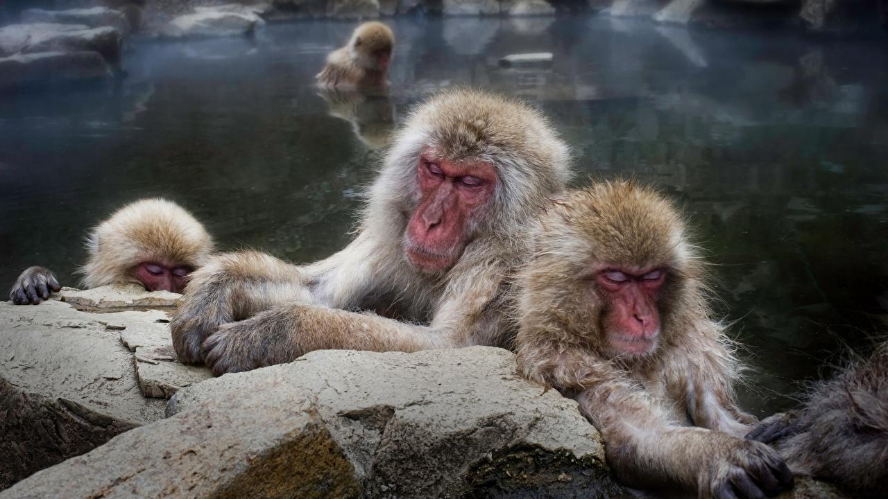 Фотография Обезьяны Japanese macaque Вода Животные обезьяна воде животное