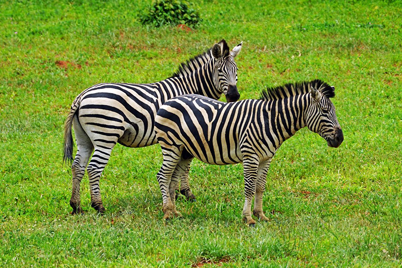 Фотографии зебра Двое траве животное Зебры 2 два две вдвоем Трава Животные