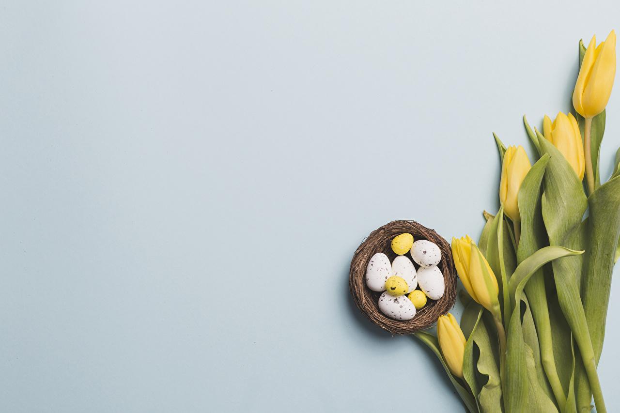 Картинка Пасха яйцо гнезда желтая Тюльпаны цветок Еда Шаблон поздравительной открытки сером фоне яиц Яйца яйцами Желтый желтые желтых Гнездо гнезде тюльпан Цветы Пища Продукты питания Серый фон