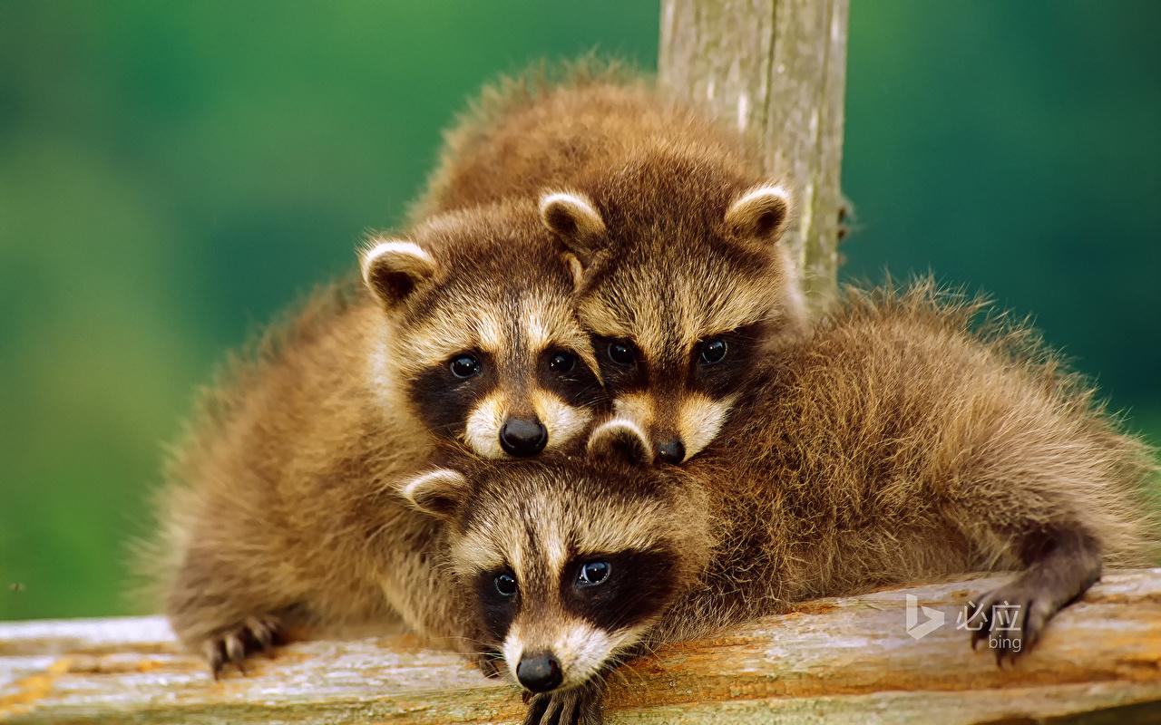 Обои для рабочего стола Еноты Детеныши три Животные Трое 3 втроем животное