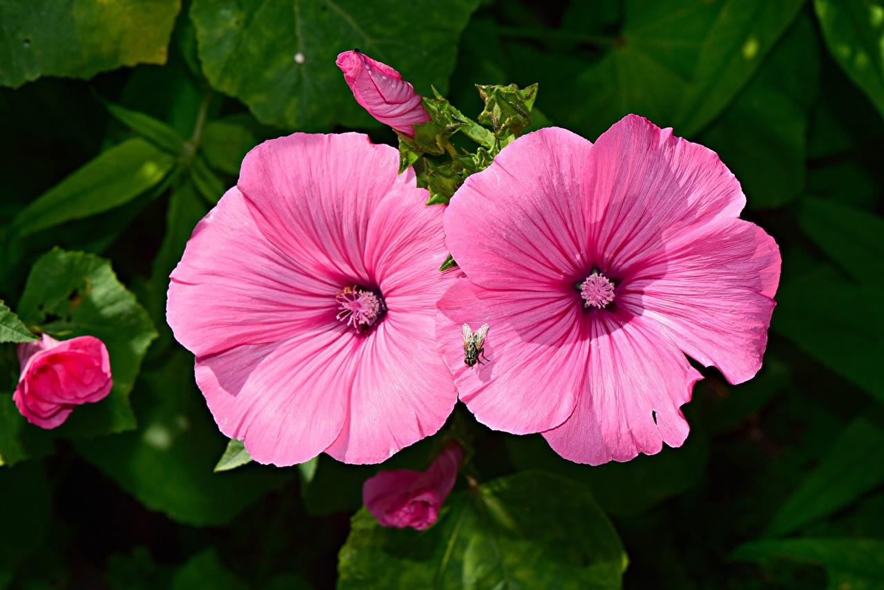 Фотография Мухи розовые Мальва цветок вблизи розовая Розовый розовых Цветы Крупным планом