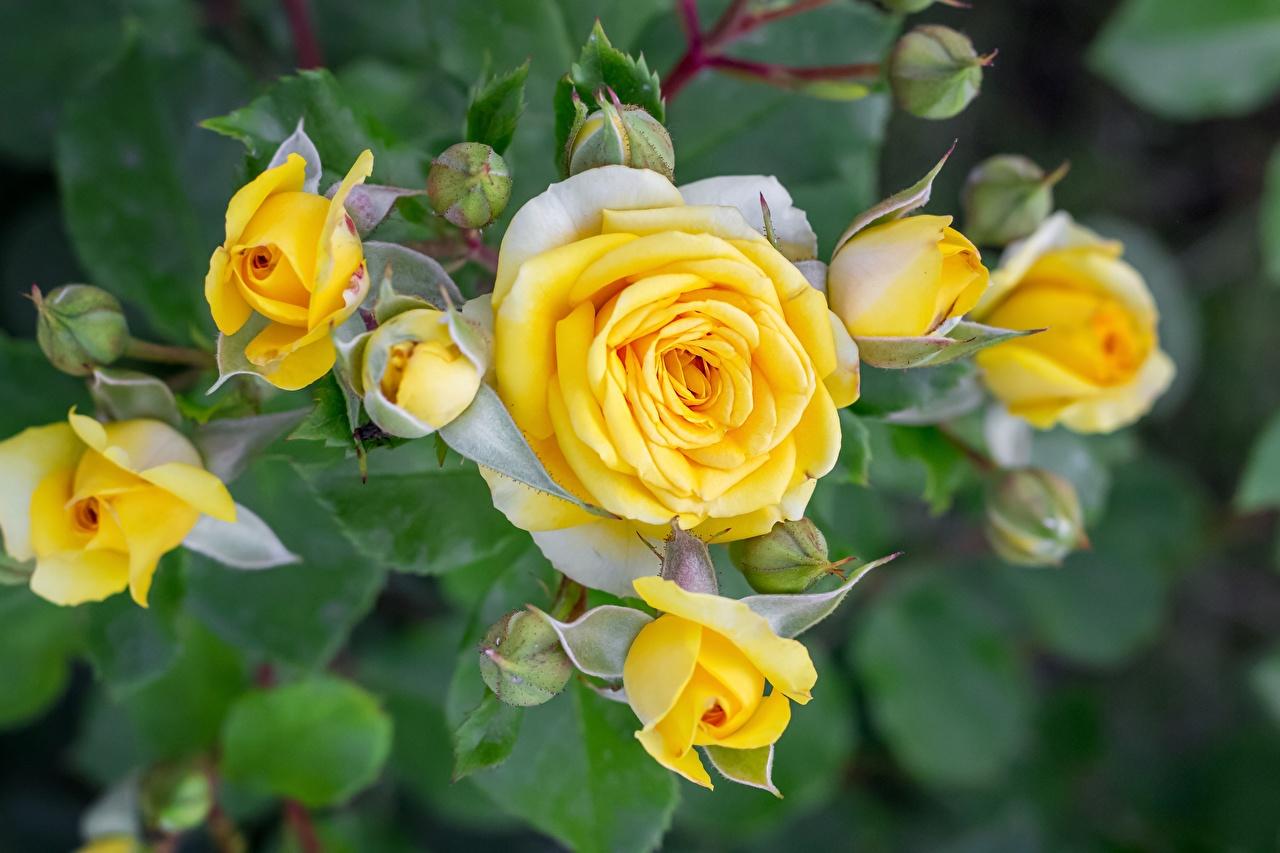 Картинки роза Желтый Цветы Бутон Розы желтая желтые желтых цветок