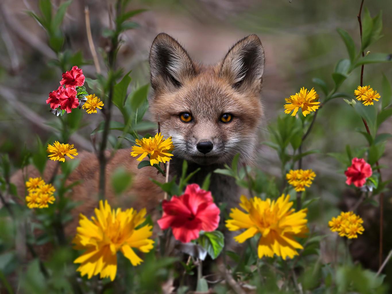 Картинка Лисы смотрит животное Лисица Взгляд смотрят Животные