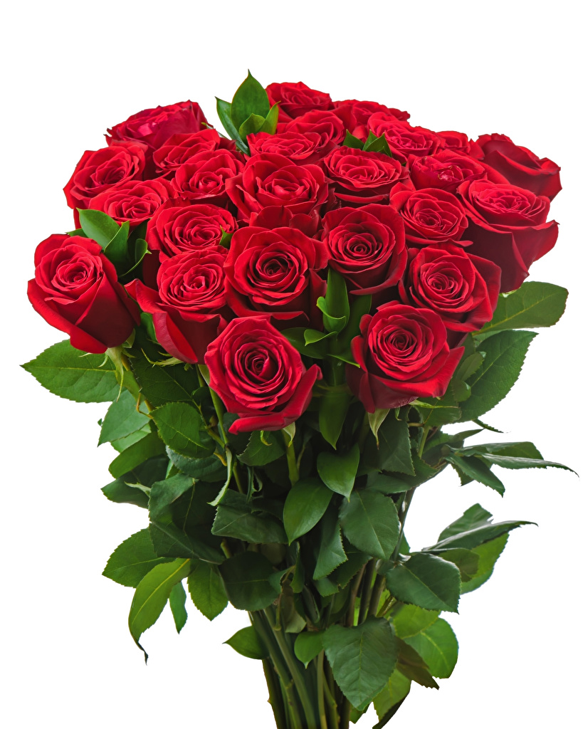 Обои Букеты Розы Красный Цветы Белый фон