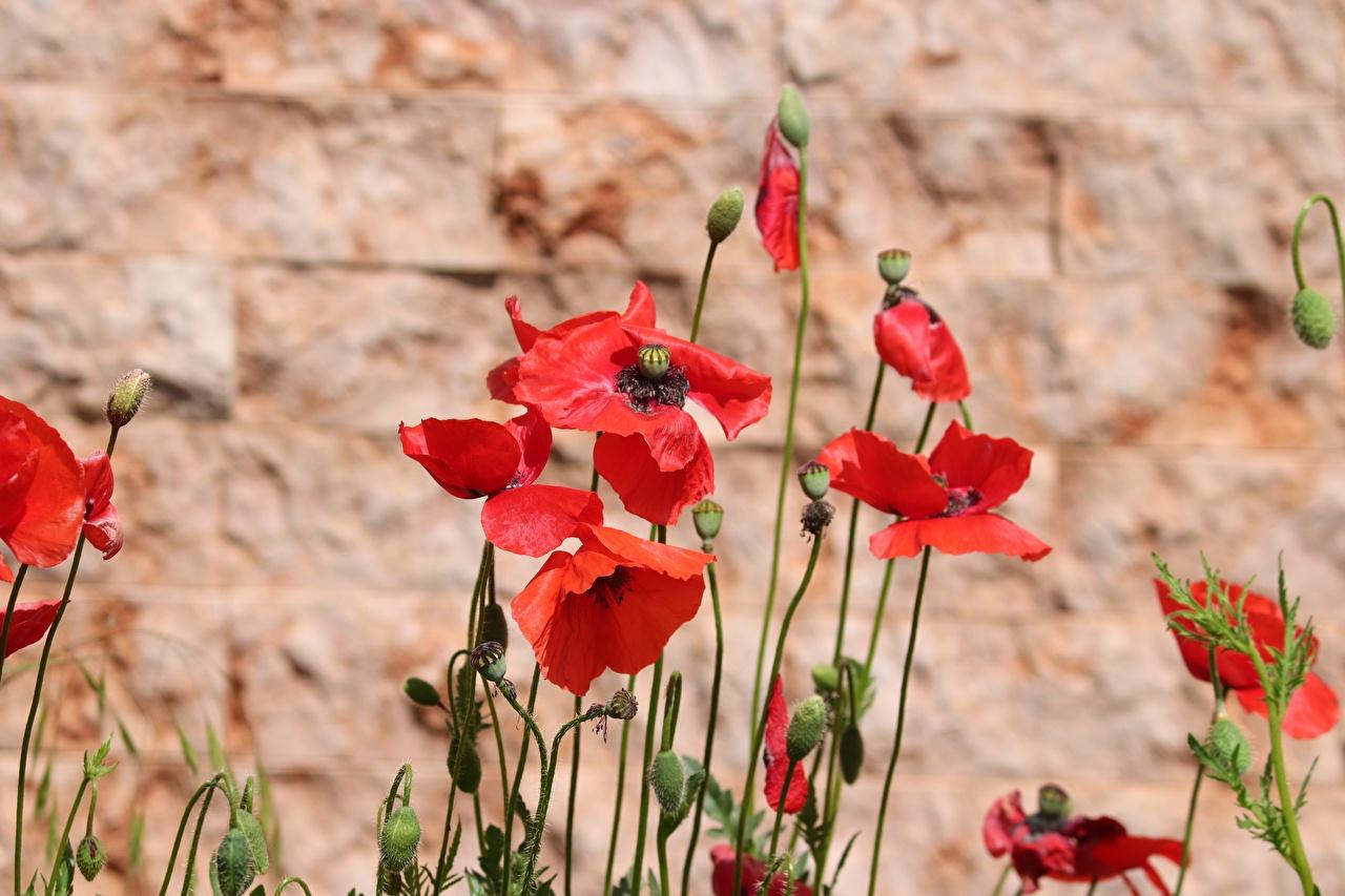 Фотографии боке красные Маки цветок Бутон Размытый фон красная Красный красных мак Цветы