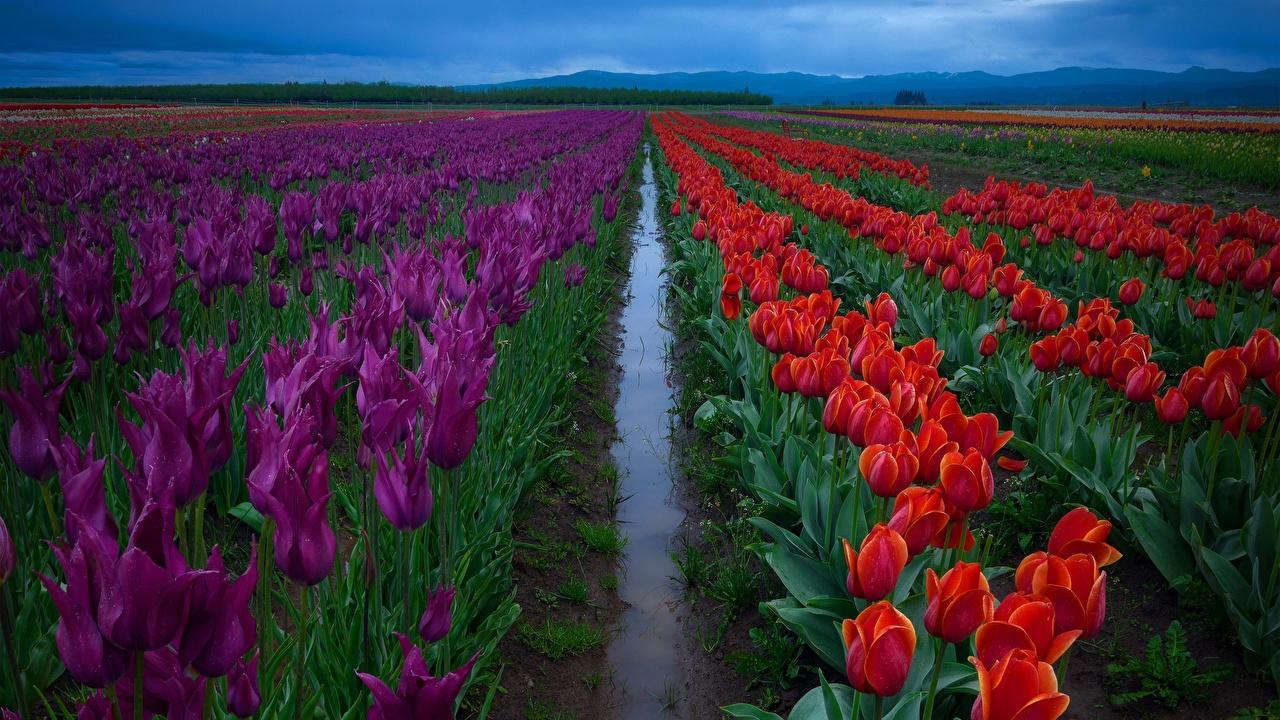 Обои для рабочего стола тюльпан Поля Цветы Тюльпаны цветок