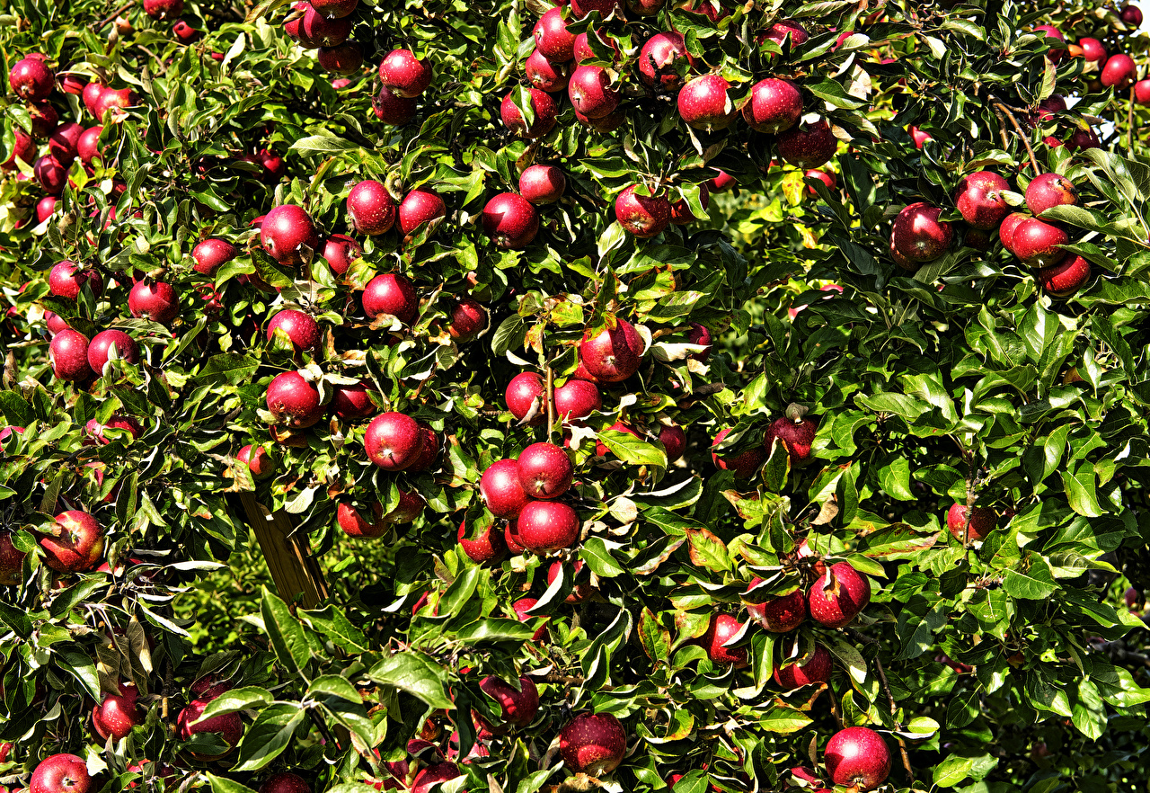 Картинки лист красных Яблоки Пища Ветки Листья Листва Красный красные красная Еда ветвь ветка на ветке Продукты питания
