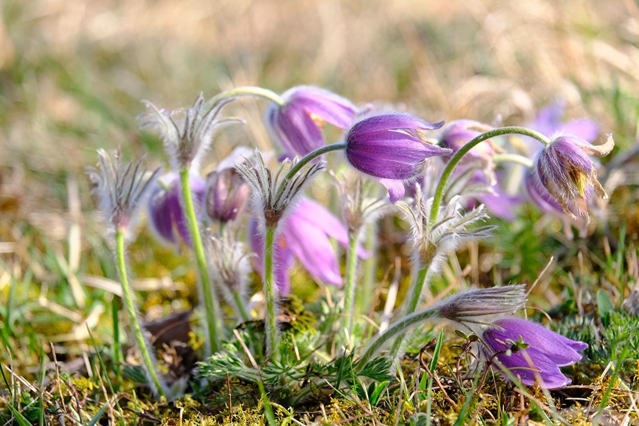 Фотография боке фиолетовая цветок Прострел вблизи Размытый фон Фиолетовый фиолетовые фиолетовых Цветы Крупным планом