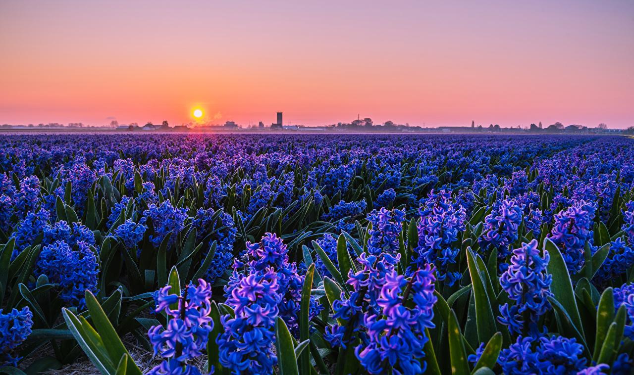 Обои для рабочего стола солнца Голубой Поля Цветы Рассветы и закаты Гиацинты Много Солнце голубых голубые голубая цветок рассвет и закат
