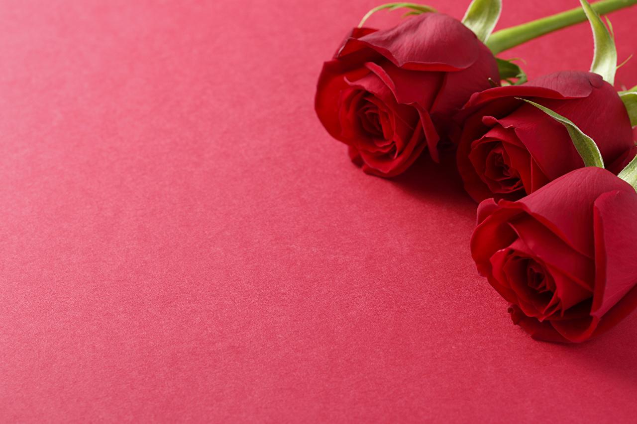 Фото Розы бордовые цветок втроем роза Бордовый бордовая темно красный Цветы три Трое 3