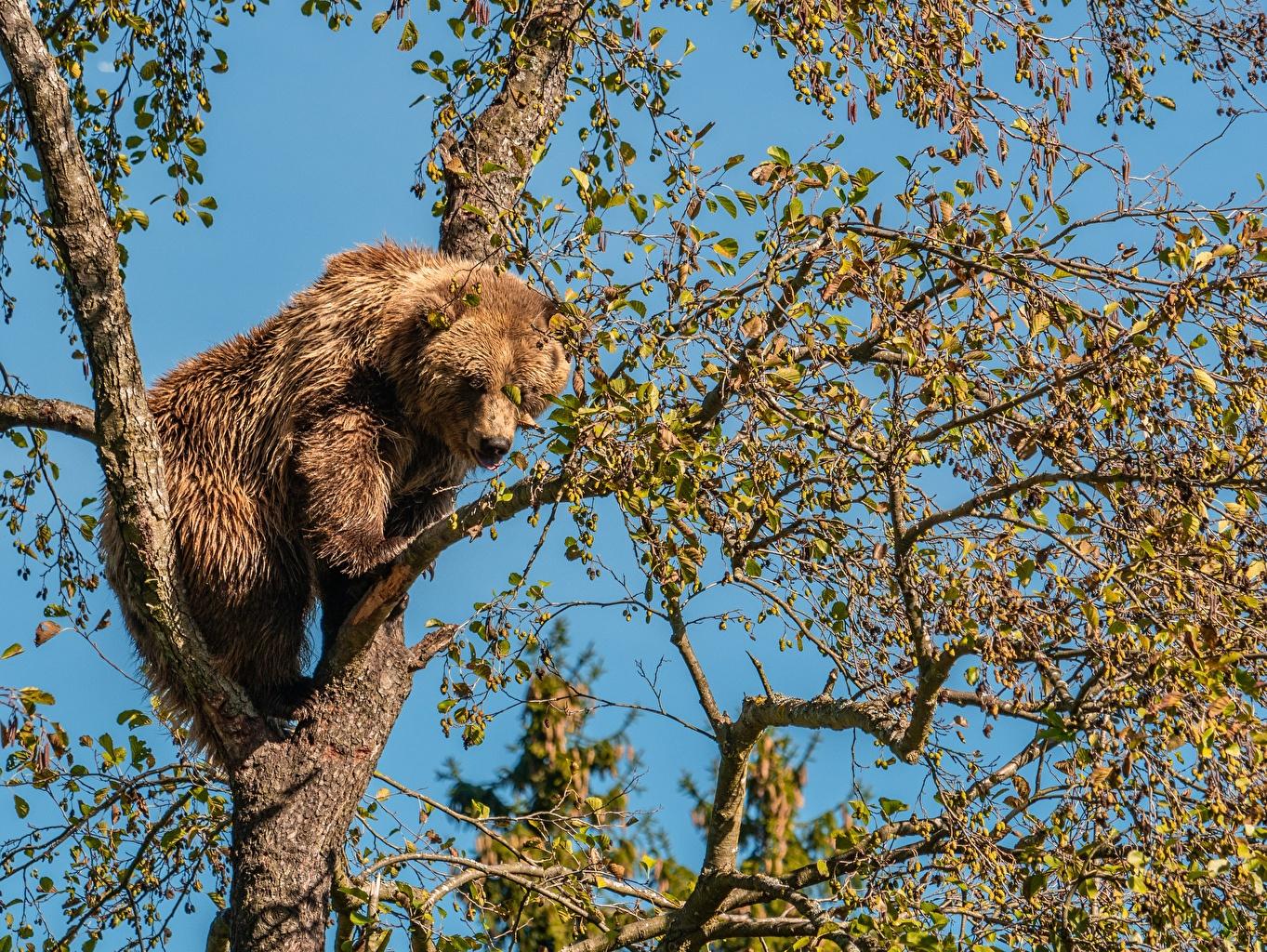 Фотография Бурые Медведи медведь ветвь деревьев Животные Гризли Медведи Ветки ветка на ветке дерево дерева Деревья животное