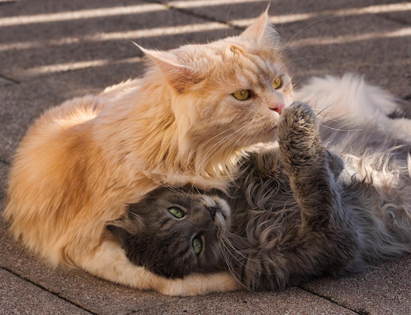 Фото Кошки 2 рыжая серые животное кот коты кошка два две Двое рыжие Рыжий серая Серый вдвоем Животные