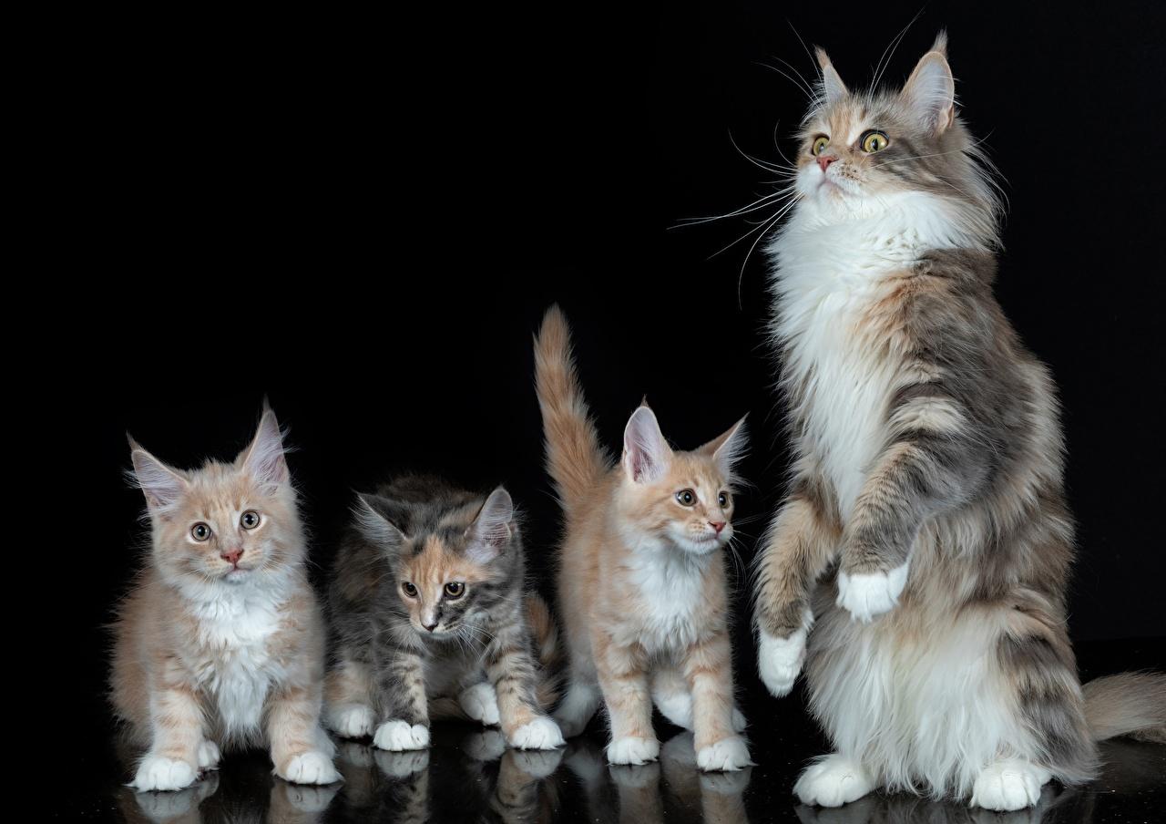 Фотография котенок Мейн-кун коты Четыре 4 Животные Черный фон котят Котята котенка кот кошка Кошки животное на черном фоне