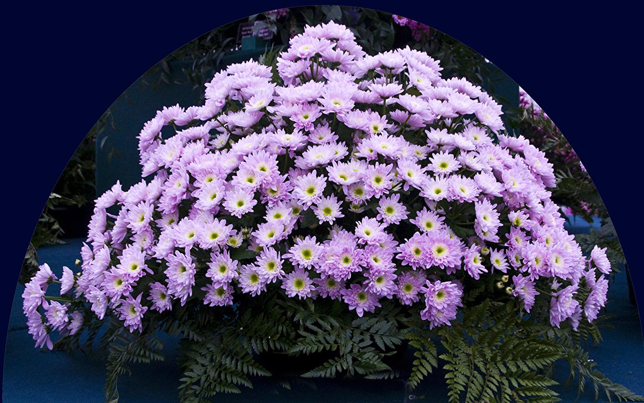 Обои для рабочего стола цветок Хризантемы Много Цветы