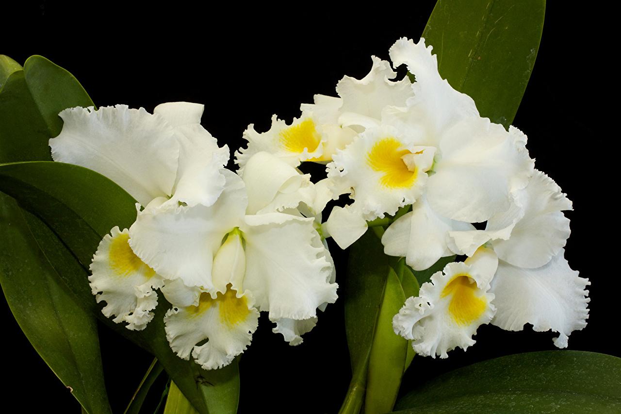 Картинки Белый Орхидеи Цветы вблизи белые белая белых орхидея цветок Крупным планом