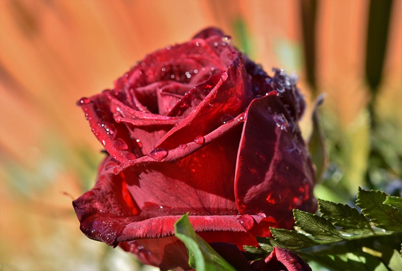Картинка Розы красных Цветы капля Крупным планом роза Красный красная красные Капли капель цветок капельки вблизи