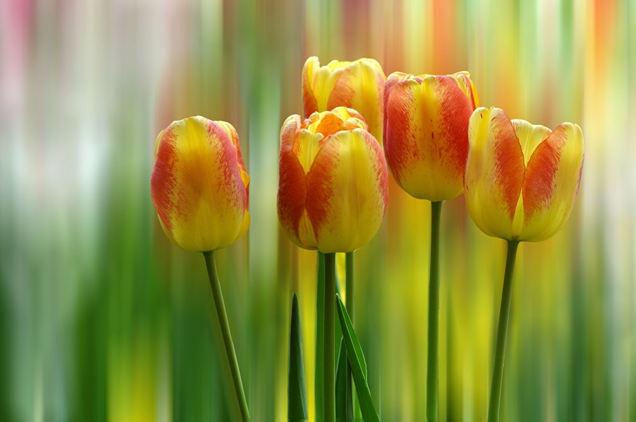 Обои желтая Тюльпаны Цветы желтых желтые Желтый