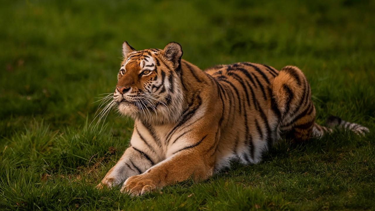 Картинка тигр Трава животное Тигры траве Животные