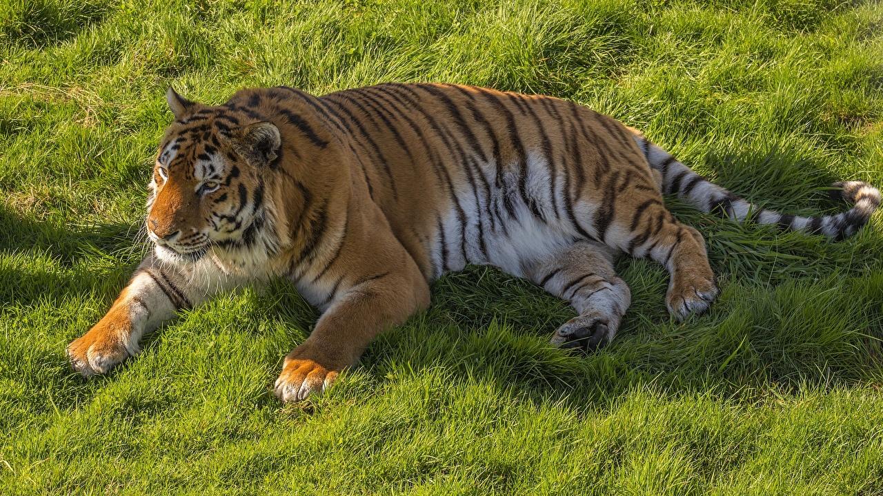Фото Тигры лежа жирная Лапы Трава животное тигр Лежит лежат лежачие жирный толстая Толстый лап траве Животные