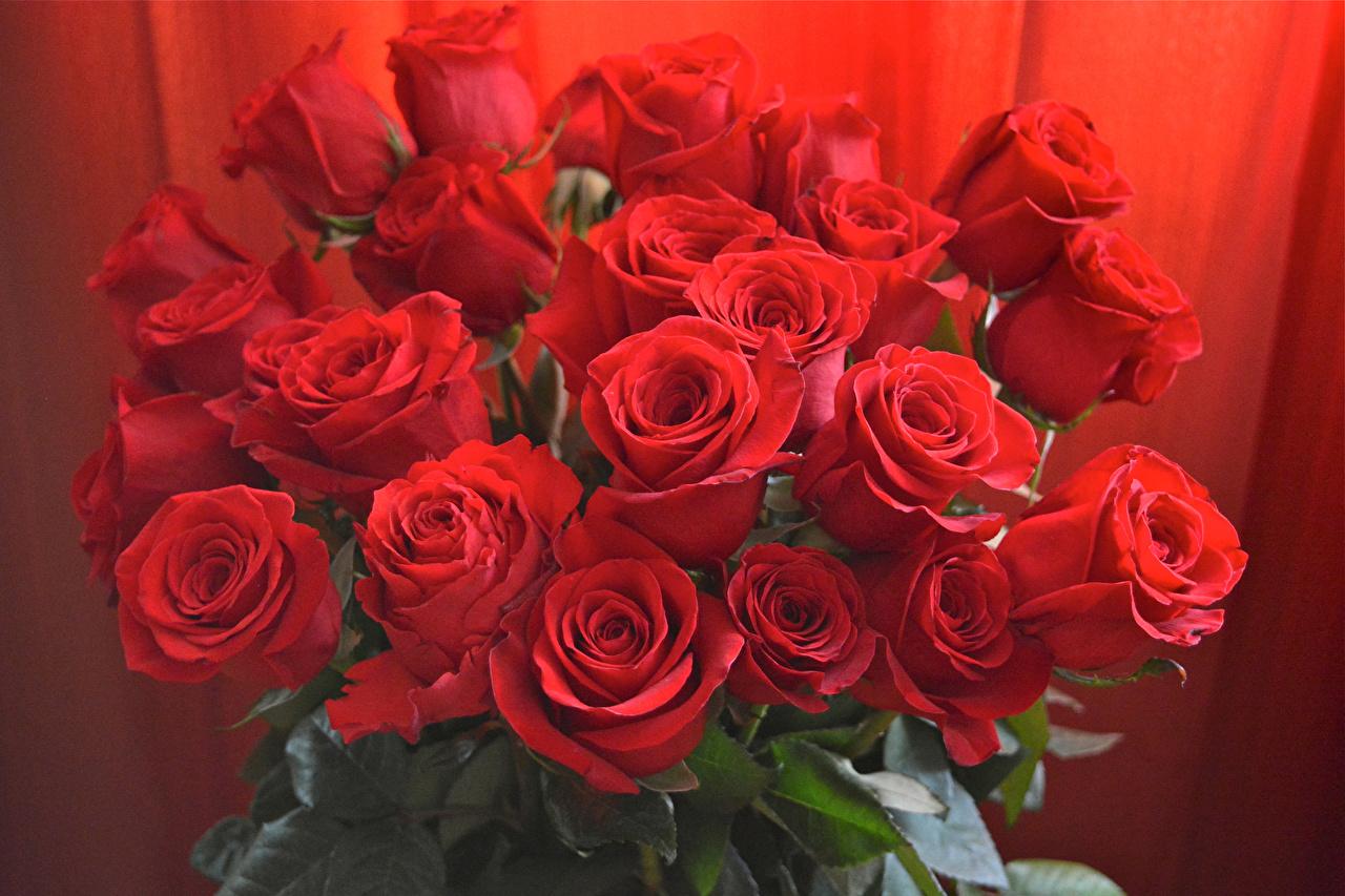 Картинка Букеты Розы Красный Цветы вблизи красных красные красная Крупным планом