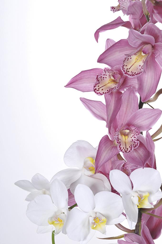 Фотография Орхидеи цветок белом фоне Крупным планом  для мобильного телефона орхидея Цветы вблизи Белый фон белым фоном