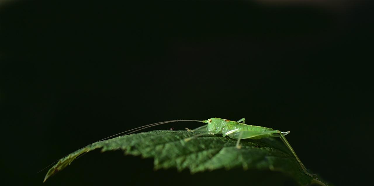 Картинки Кузнечики Листва зеленые вблизи Животные лист Листья зеленых Зеленый зеленая Крупным планом