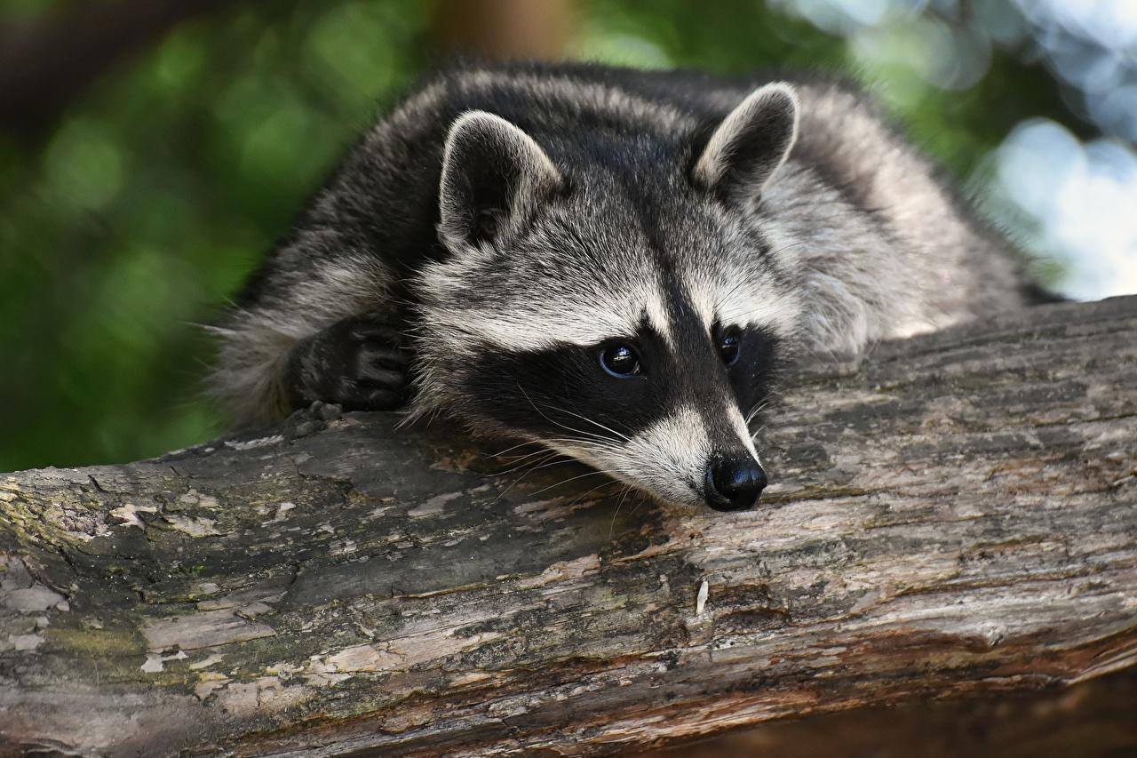 Картинки Еноты Морда вблизи Взгляд животное морды смотрят смотрит Животные Крупным планом