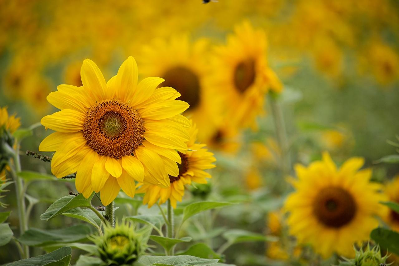 Фотографии Размытый фон Желтый цветок Подсолнухи боке желтая желтые желтых Цветы Подсолнечник