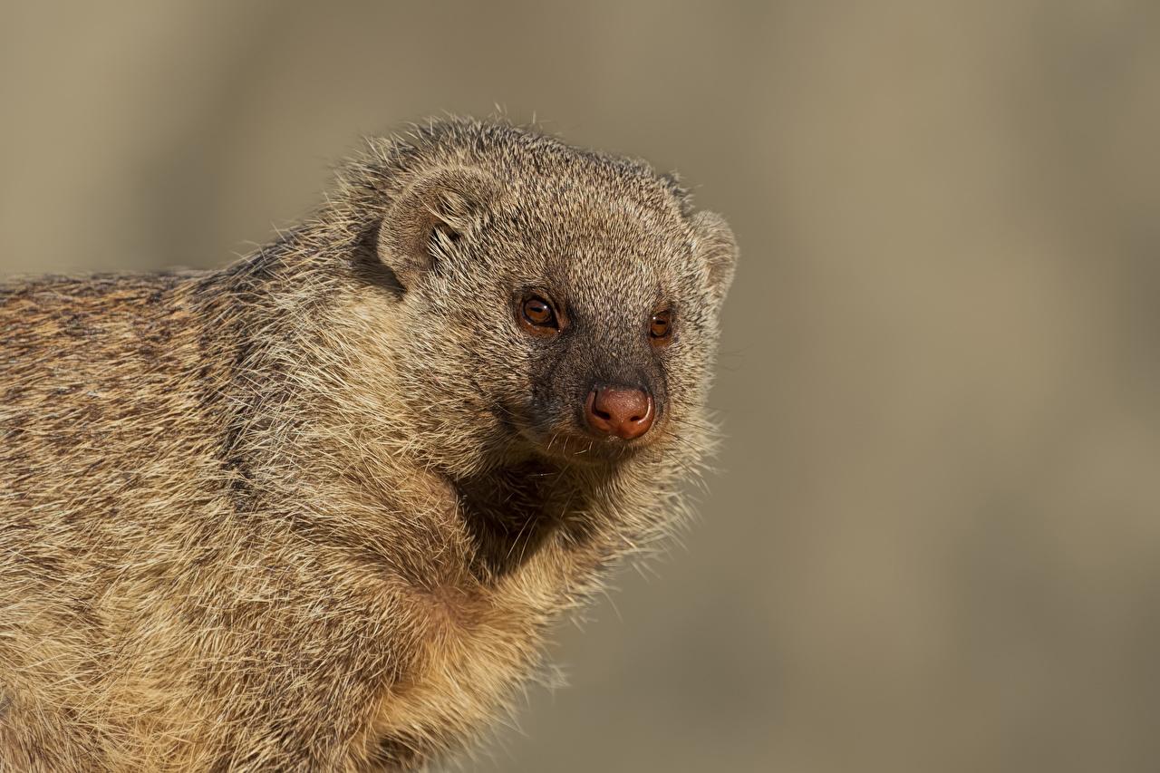 Обои для рабочего стола Banded Mongoose Морда Взгляд животное сером фоне морды смотрят смотрит Животные Серый фон