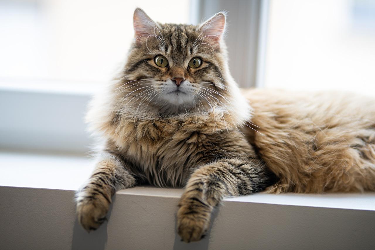 Картинка Кошки лежа Лапы смотрит животное кот коты кошка Лежит лежат лежачие лап Взгляд смотрят Животные