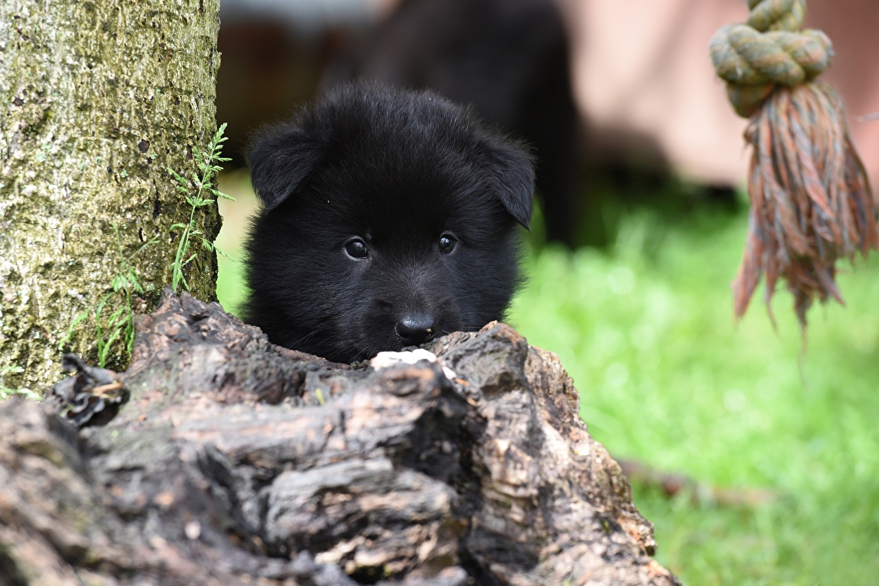 Фотография Щенок Собаки Belgian shepherd Черный Морда Взгляд Животные смотрит