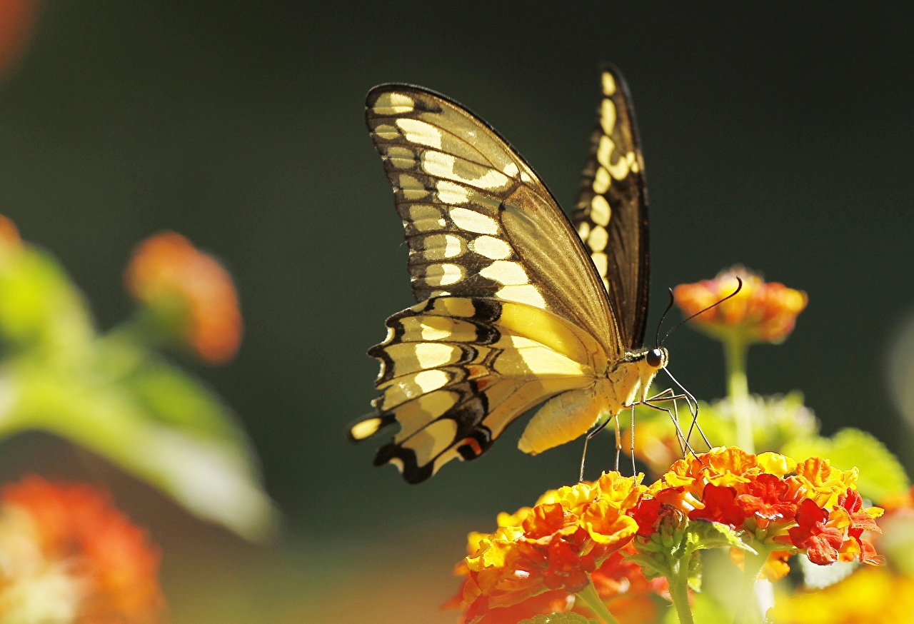 Картинка Бабочки Животные Крупным планом бабочка вблизи животное