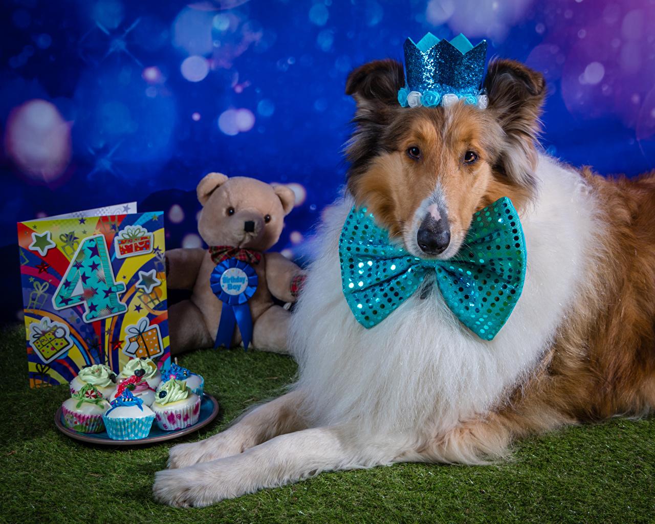 Фотография Колли День рождения собака Корона Капкейк кекс Мишки Галстук-бабочка Животные Собаки Плюшевый мишка животное