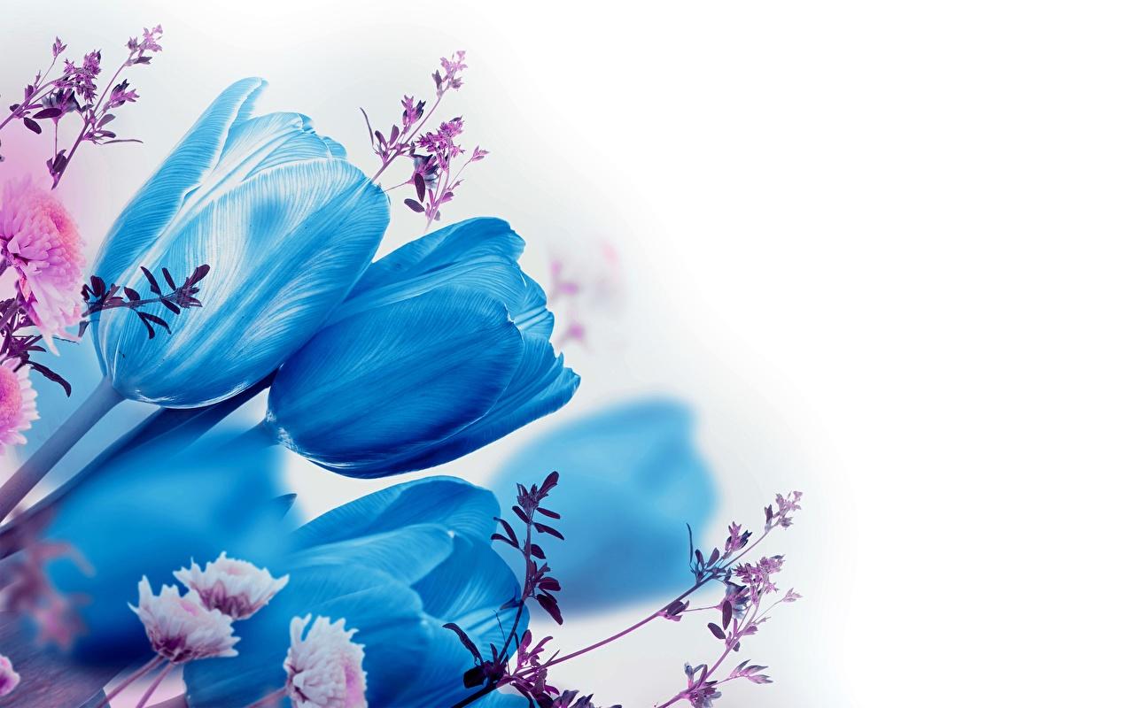 Фотографии синих тюльпан цветок белым фоном Синий синие синяя Тюльпаны Цветы Белый фон белом фоне