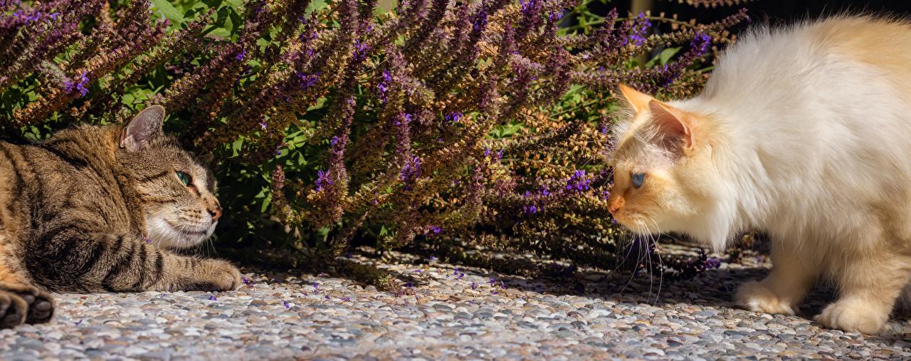 Фотографии Кошки 2 Взгляд Животные кот коты кошка два две Двое вдвоем смотрит смотрят животное
