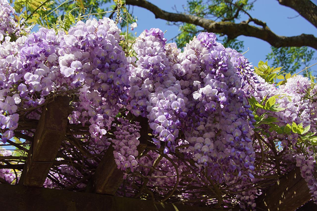 Фотографии Цветы Вистерия вблизи цветок Глициния Крупным планом