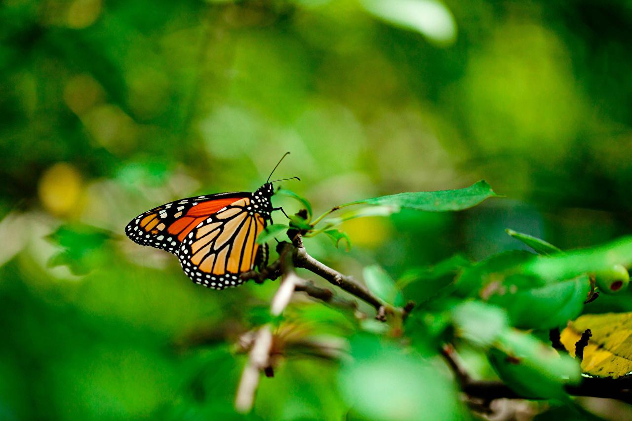 Картинки Данаида монарх бабочка Насекомые животное Бабочки насекомое Животные