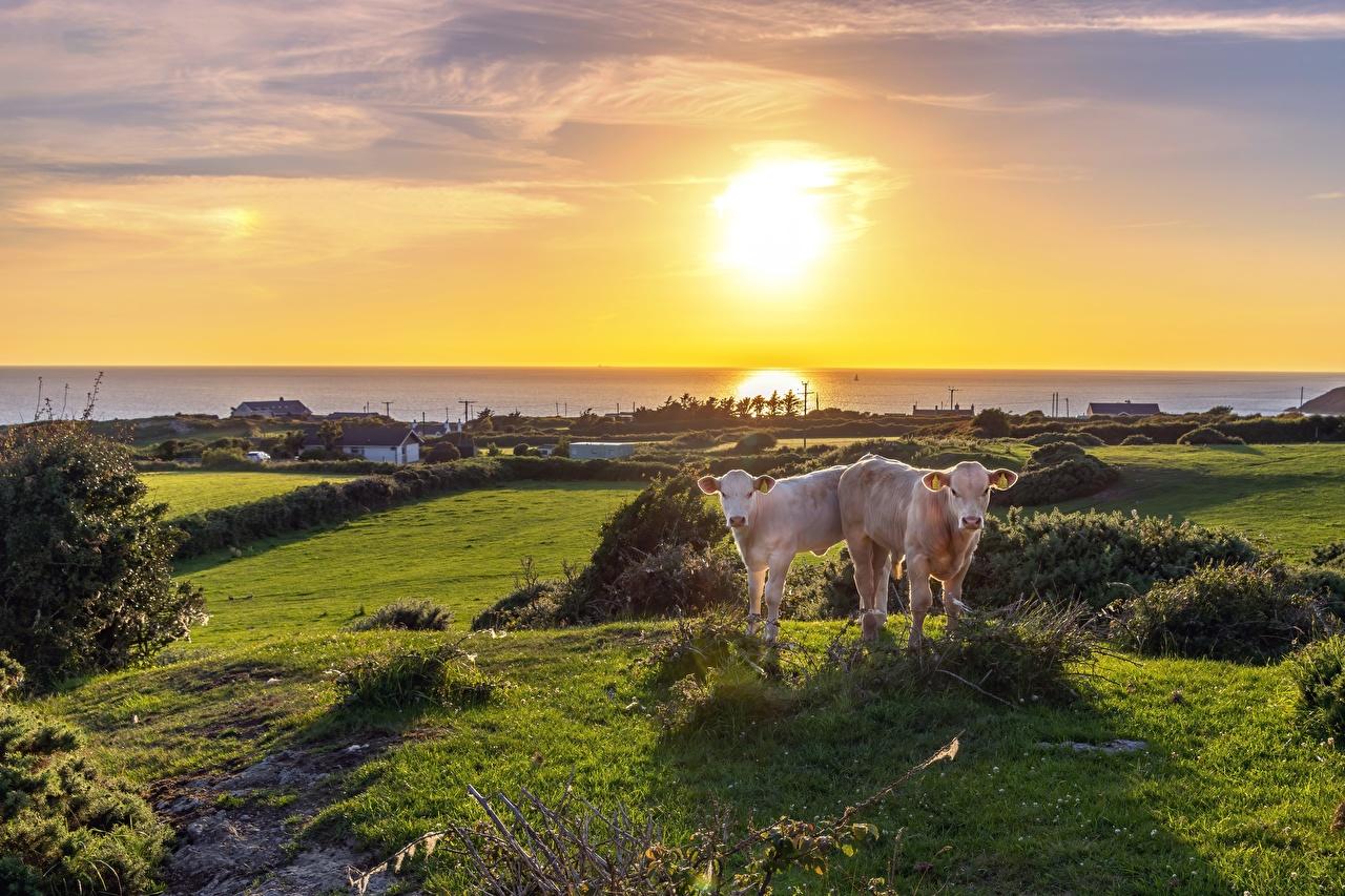 Фотография Корова Детеныши вдвоем траве горизонта животное коровы 2 два две Двое Трава Горизонт Животные