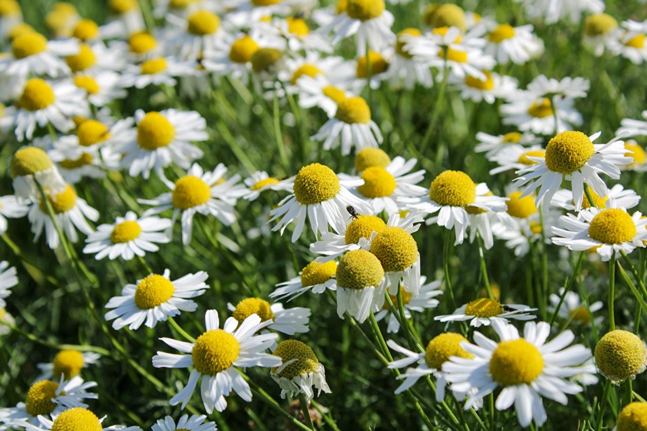 Картинки цветок ромашка Много Цветы Ромашки