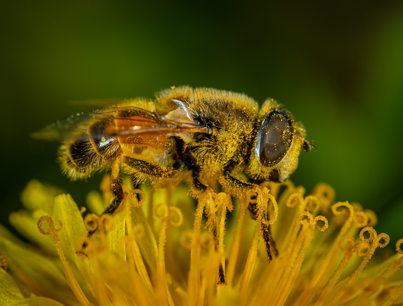 Обои для рабочего стола Пчелы насекомое Пыльца Макросъёмка вблизи животное Насекомые пыльцой Макро Животные Крупным планом