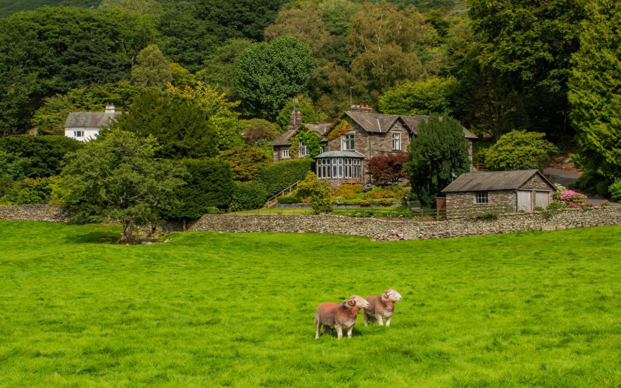 Картинки Овцы Англия Деревня Grasmere Природа Трава Дома Деревья село поселок траве Здания дерево дерева деревьев