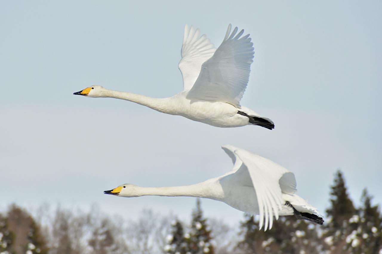Фото Гуси Птицы Белый вдвоем Полет Животные 2 Двое летящий