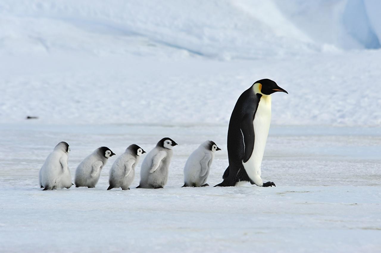 Фотографии Семья Пингвины Детеныши Мама Emperor Penguins Животные Мать животное