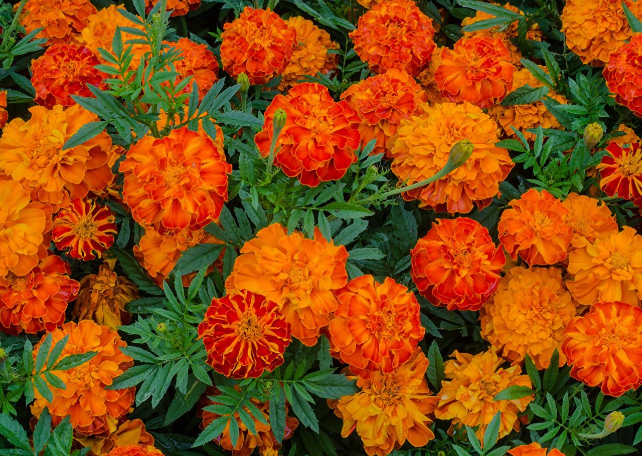 Картинка Оранжевый Цветы Бархатцы Крупным планом оранжевых оранжевые оранжевая вблизи
