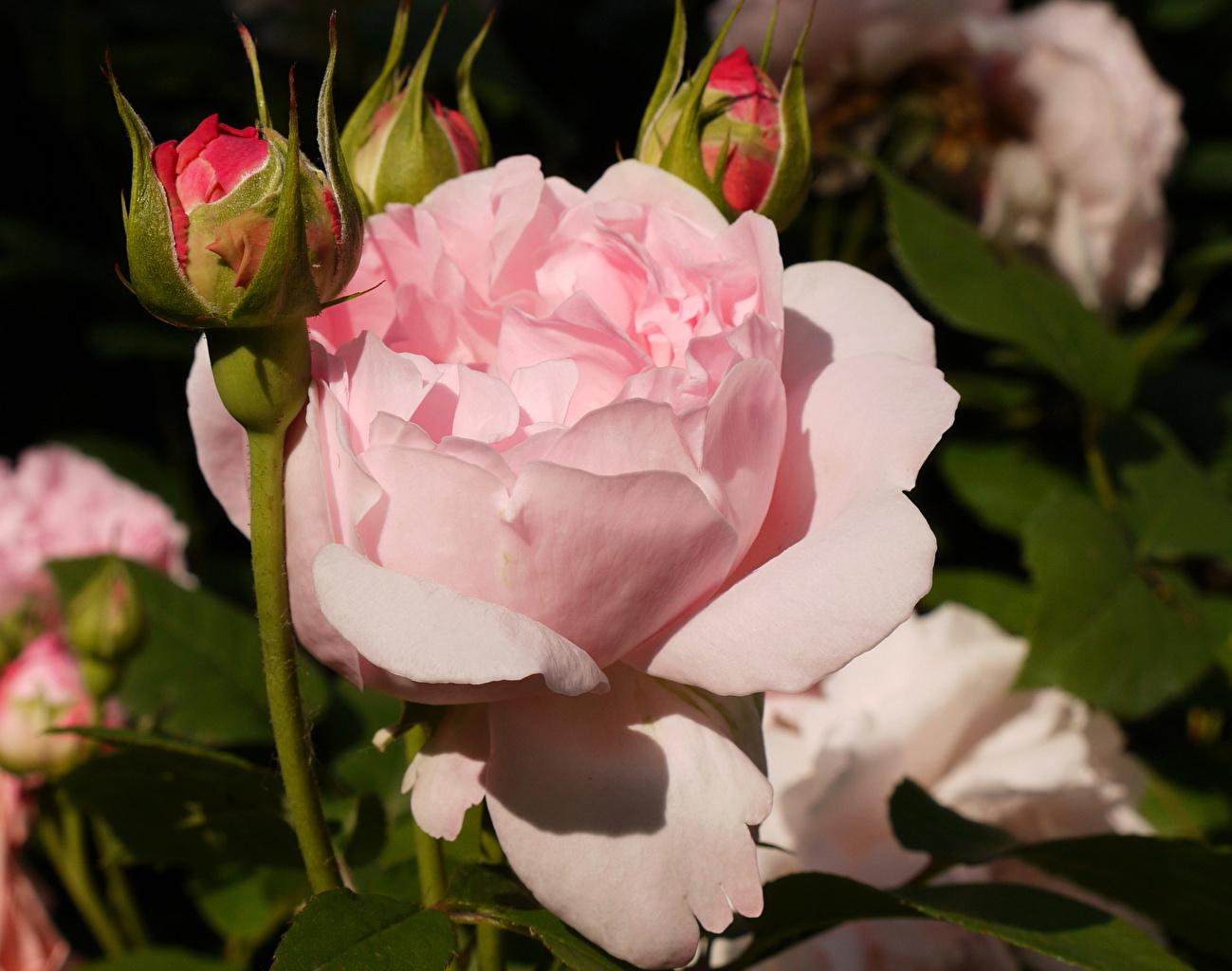 Фотография Розы Розовый цветок Бутон роза розовая розовые розовых Цветы