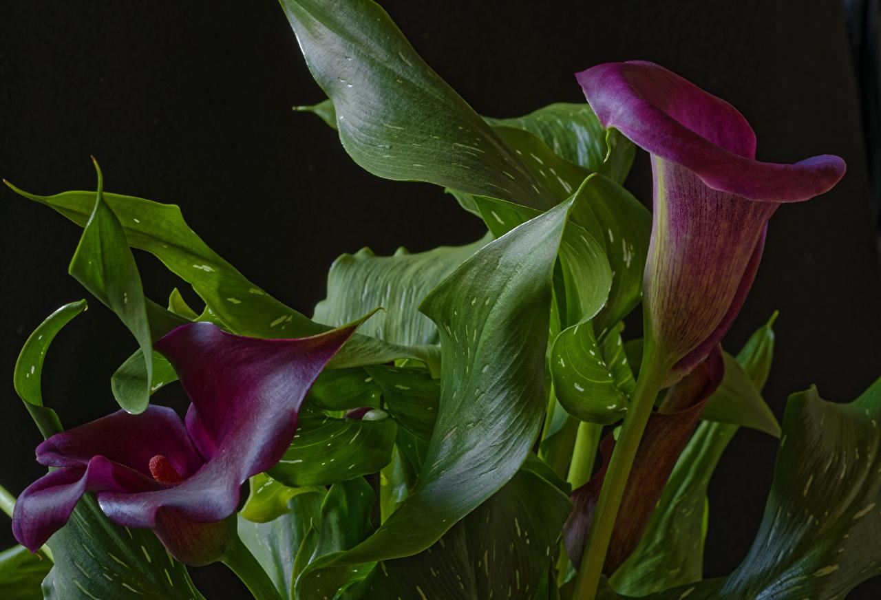 Фото Листья две Каллы темно красный Цветы вблизи лист Листва 2 два Двое вдвоем Бордовый бордовые бордовая белокрыльник цветок Крупным планом